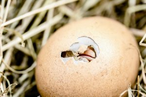 Hatching Chicken Egg